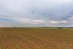 Kukurydzy pole Zdjęcia Royalty Free