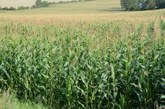 Kukurydzy pole Obraz Royalty Free