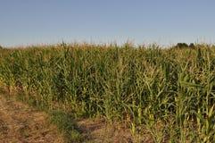 Kukurydzy pole podczas pory suchej Zdjęcia Royalty Free