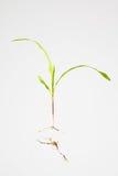 Kukurydzy rośliny rozsada Zdjęcie Stock