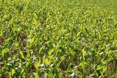 Kukurydzy uprawa fotografia stock