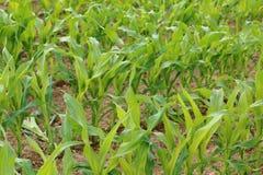 Kukurydzy uprawa obrazy stock