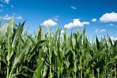 Kukurydzy zielony pole Fotografia Stock