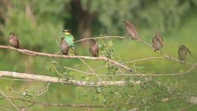 Kulör fågel i en flock av svarta fåglar stock video