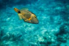 Kulör fisk med band i Stilla havet Fotografering för Bildbyråer