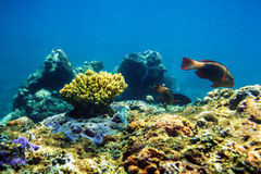 Kulör fisk och koraller i Stilla havet Fotografering för Bildbyråer