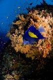 kulör fiskrevskola Royaltyfri Foto