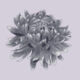 Kulör krysantemum för blå pastell Färgad och fodrad krysantemumblomma Royaltyfri Fotografi