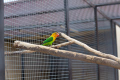 Kulör papegoja Arkivfoton