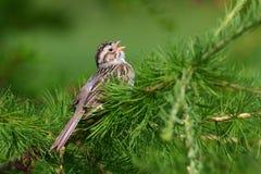 kulör sparrow för lera Royaltyfria Foton