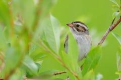 kulör sparrow för lera Royaltyfri Bild