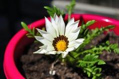 Kulöra dekorativa blommor Royaltyfria Foton