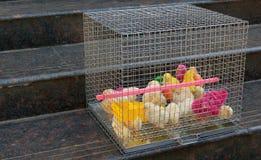 Kulöra fågelungar i en bur fotografering för bildbyråer