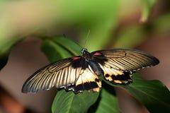 Kulöra fjärilar med en vingbredd royaltyfri fotografi