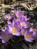 Kulöra krokusar för ursnygg lila i eftermiddagen Arkivbild