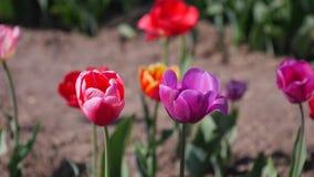 Kulöra tulpan för multipel i en trädgård som blåser i vinden arkivfilmer
