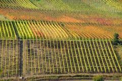 Kulöra vingårdar på Mosellen Royaltyfri Fotografi