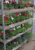 Kulört pelargoniafält med hängande krukor Fält av den röda murgrönapelargon och till salu Att hänga lägger in med blommor för gar Royaltyfri Foto