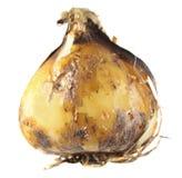 Kula av camas eller den indiska hyacinten eller Camassia som isoleras på vit Arkivfoto