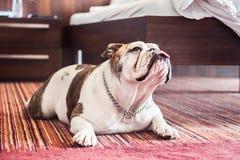 Kula - engelsk bulldogg Royaltyfria Foton