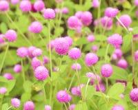 Kula ziemska amarant lub Gomphrena globosa kwiat fotografia stock