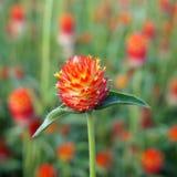 Kula ziemska amarantu zbliżenia kwadrat Obrazy Royalty Free