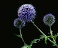 Kula ziemska oset przed czarnym tłem w jaskrawym błękicie Zdjęcia Royalty Free