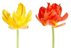 kulablomman blommar tulpantulpan Fotografering för Bildbyråer