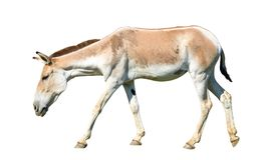 kulan Turkmenian kulan马属的hemionus 库存图片
