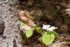 Kulawka krzaka kwiat Zdjęcia Royalty Free