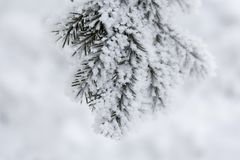 Kulić się jodeł gałąź Zimy plamy tło Mrozowy drzewo obraz stock