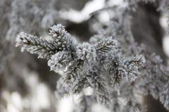 Kulić się jodeł gałąź Zimy plamy tło Mrozowy drzewo obrazy royalty free