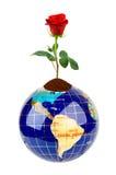 Kuli ziemskiej i róży kwiat Fotografia Royalty Free