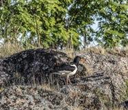 Kulik vierzig, auf der Küste des weißen Meeres, Russland lizenzfreies stockbild