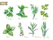 Kulinarnych ziele akwareli inkasowa ilustracja z ścinek ścieżkami ilustracji