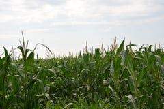 kull för fält för bakgrundshavreafton Arkivfoton