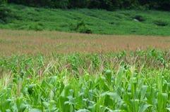 kull för fält för bakgrundshavreafton Arkivfoto