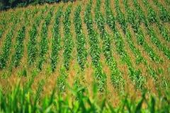 kull för fält för bakgrundshavreafton Arkivbild