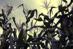 kull för fält för bakgrundshavreafton Royaltyfri Fotografi