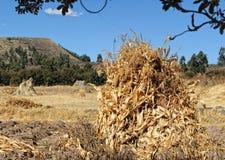 kull för fält för bakgrundshavreafton Royaltyfri Foto