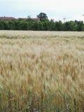 kull för fält för bakgrundshavreafton Royaltyfri Bild