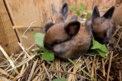 Kull för fyra för kaninkanin för veckor gammal angora- satser Arkivfoton