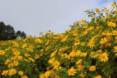 Kullar för mexikanSunflowerBua tång av Doi Mae U-Kho i det Khun Yuam området, Mae Hong Son, nordliga Thailand Blomma i November o Arkivbild