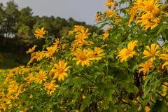 Kullar för mexikanSunflowerBua tång av Doi Mae U-Kho i det Khun Yuam området, Mae Hong Son, nordliga Thailand Blomma i November o Fotografering för Bildbyråer
