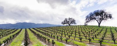 Kullar som i början täckas i vingårdar i den Sonoma dalen av våren, Kalifornien Royaltyfria Bilder