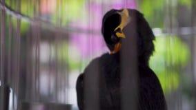 Kulle Myna Gracula Religiosa Talking Bird i en bur arkivfilmer