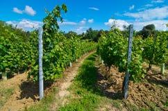 Kulle som planteras med den runda vingården Royaltyfri Fotografi