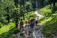Kullu, Himachal Pradesh, India - September 02, 2018 : Shepherd and herd of sheep and cow in himalayas royalty free stock image