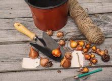 Kulor av tulpan, innan att plantera Arkivfoton