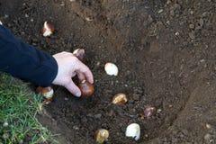 kulor som planterar tulpan Fotografering för Bildbyråer